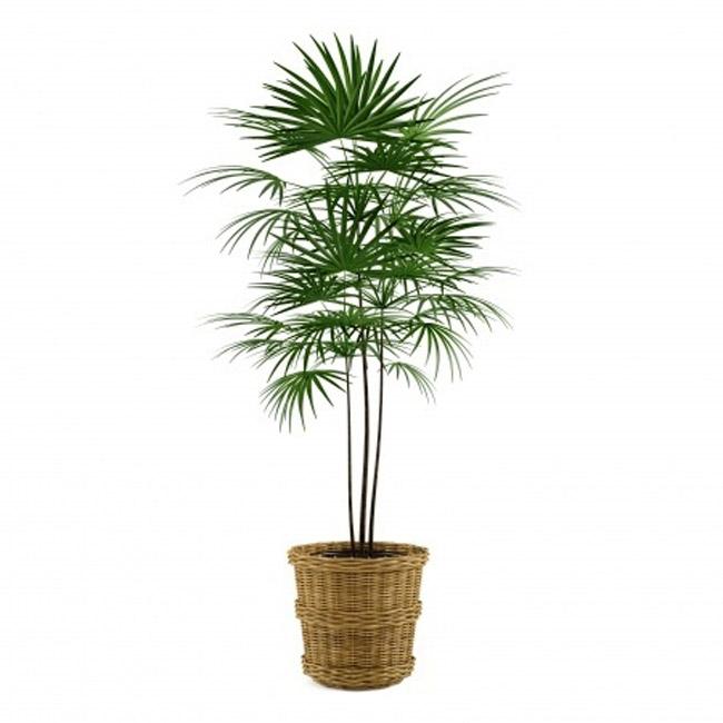 نخل لیدی از گیاهان تصفیه کننده هوا