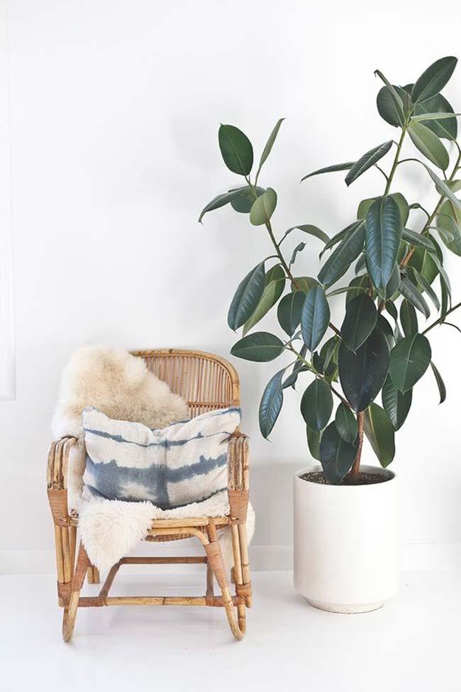 کائوچو یکی از گیاهان تصفیه کننده هوا