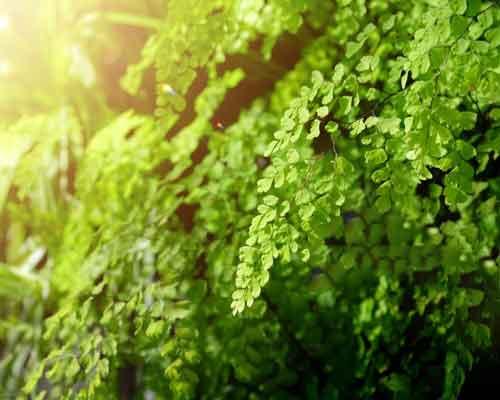 گياهان ديوار سبز که در معرض تابش مستقيم نور خورشيد قرار دارندو نور مورد نيازشات تامين مي گردد