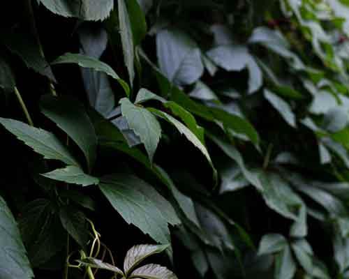 گياهان ديوار سبز که بر روي ديوار نصب شده اند و از يک نوع گونه گياهي هستند
