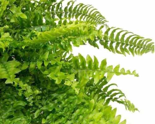 گياه سرخس با برگ هاي تيز که مناسب براي ديوار سبز مي باشد