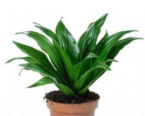 گياه با برگ هاي سبز که در درون گلدان ريشه دارد و مناسب براي ديوار سبز مي باشد