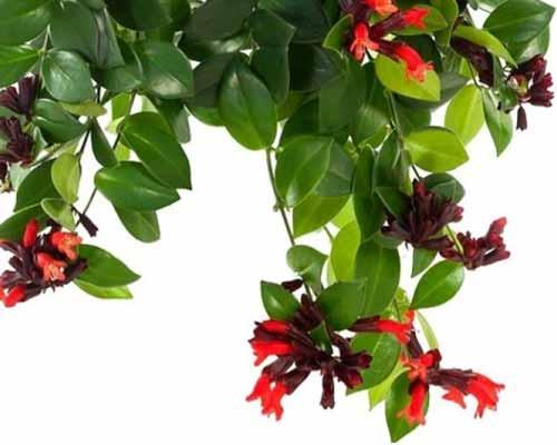 گياهان رژ لب که به صورت پايين رونده رشد کرده اند و داراي گل هاي قرمز زيبايي هستند و آماده نصب بر روي ديوار زنده مي باشند