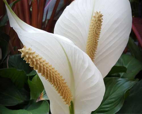 گياه سوسن صلح با برگ هاي سبز و گل هاي سفيد زيبا که براي ديوار زنده قابل استفاده مي باشد