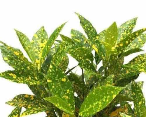 گياهي زيبا با برگ هاي رنگارنگ که در شرايط خشک رشد مي کند و قابل کاشت بر روي ديوار پوشيده از گياه مي باشد